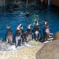 160613スマスイペンギン