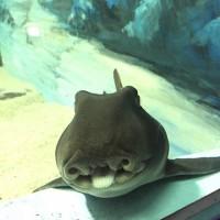 160613スマスイネコザメ